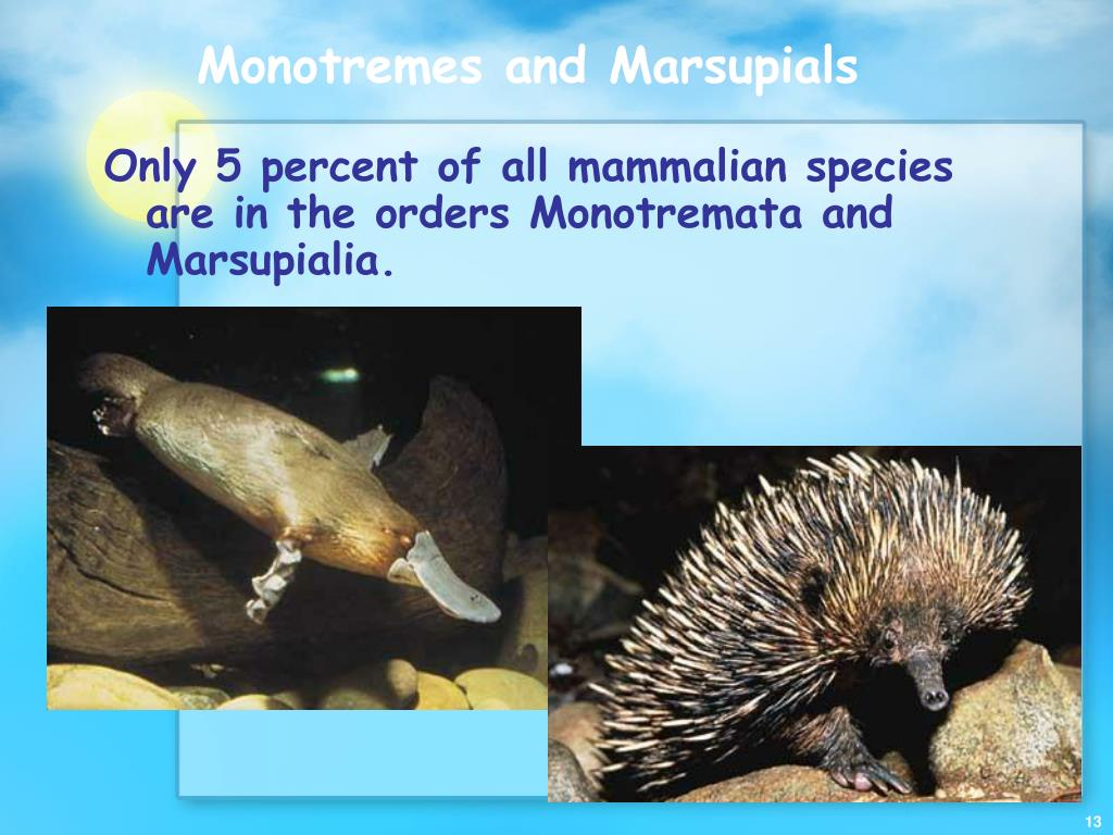 Monotremes and Marsupials