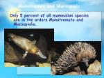 monotremes and marsupials