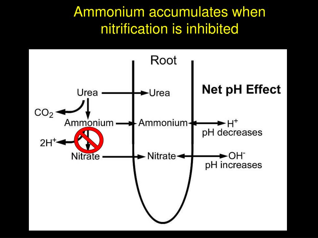 Ammonium accumulates when nitrification is inhibited