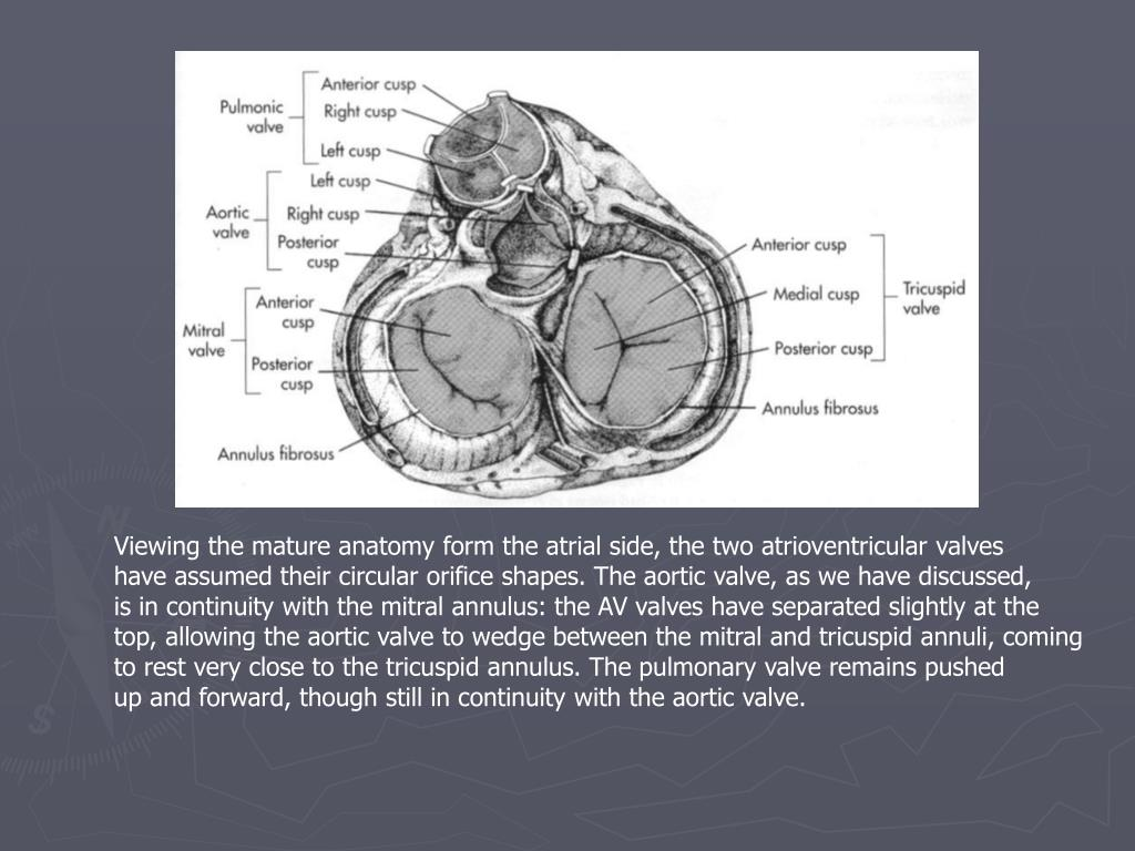 Viewing the mature anatomy form the atrial side, the two atrioventricular valves