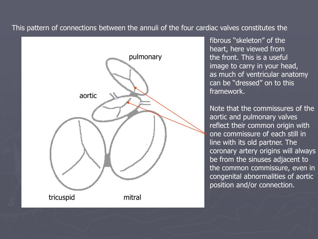 This pattern of connections between the annuli of the four cardiac valves constitutes the