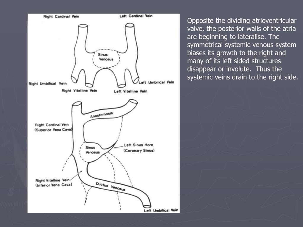 Opposite the dividing atrioventricular