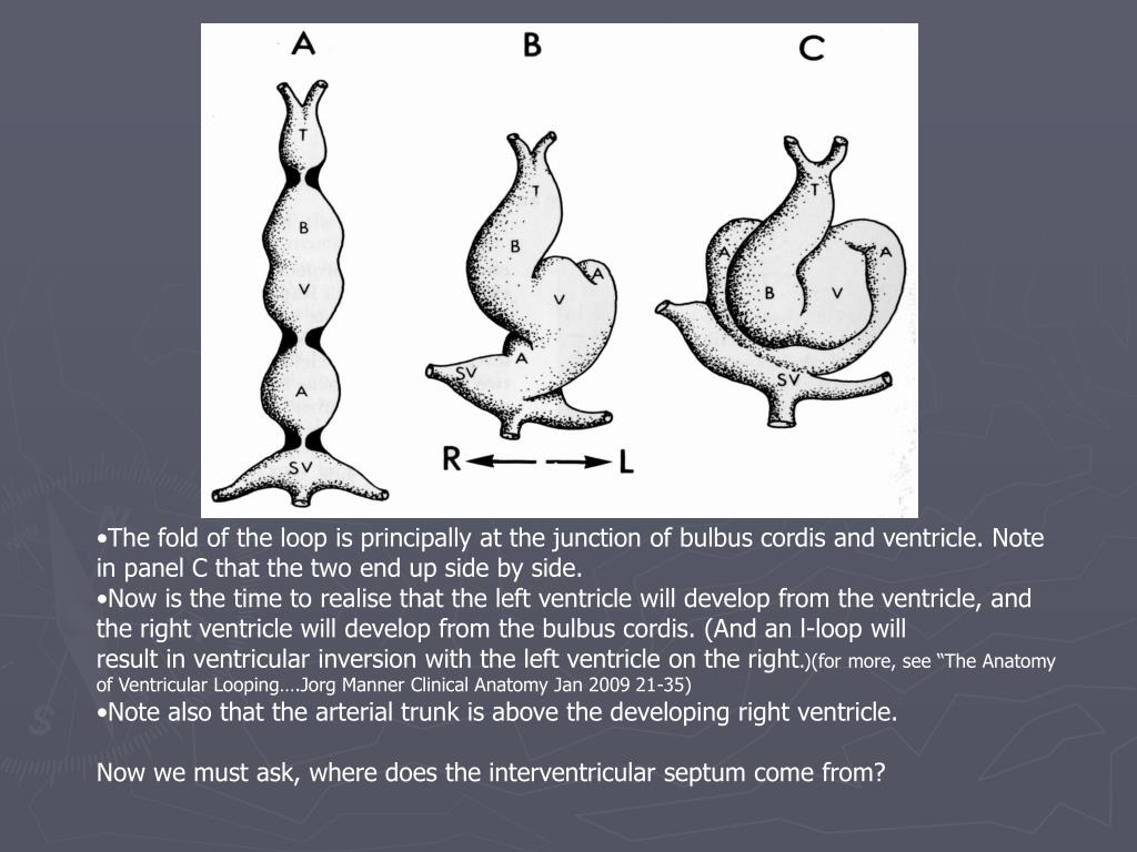 The fold of the loop is principally at the junction of bulbus cordis and ventricle. Note in panel C that the two end up side by side.