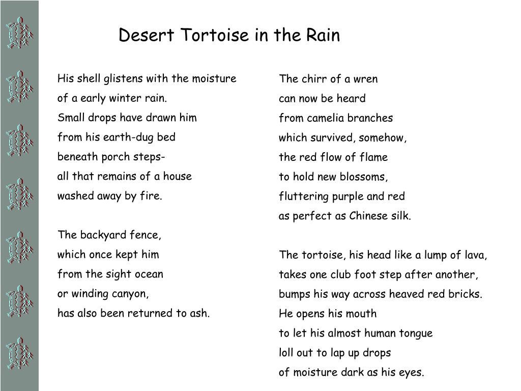 Desert Tortoise in the Rain