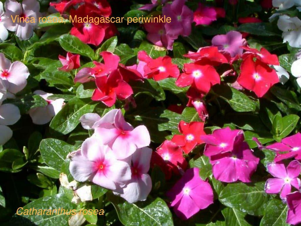 Vinca rosea, Madagascar periwinkle