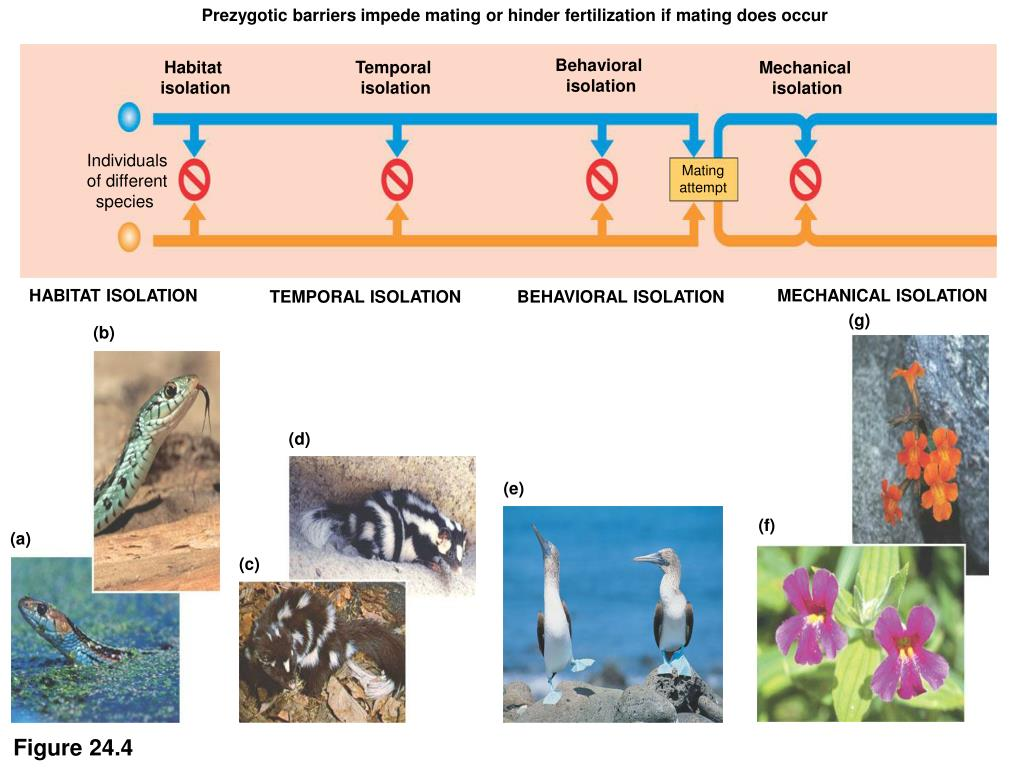 Prezygotic barriers impede mating or hinder fertilization if mating does occur