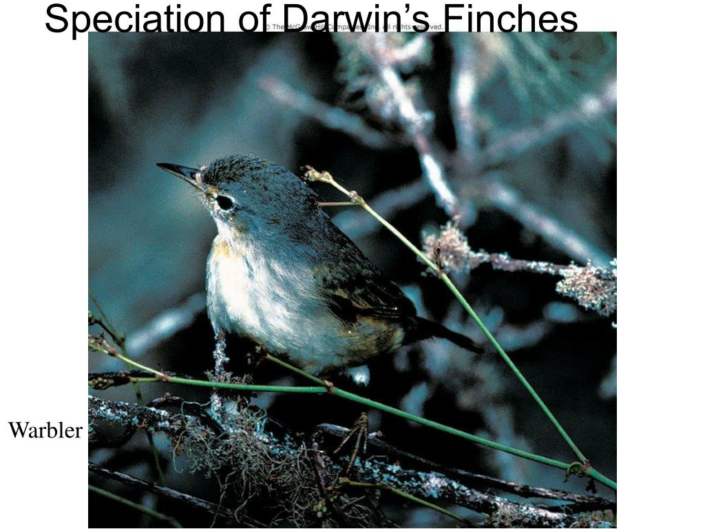 Speciation of Darwin's Finches