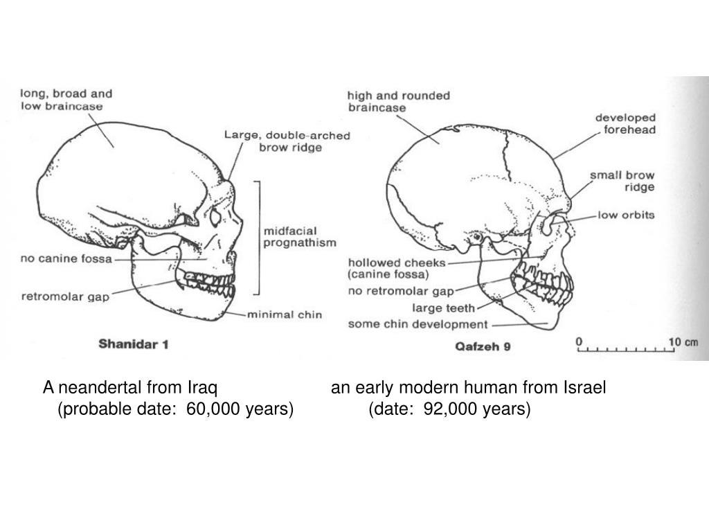 Mid-East Neander