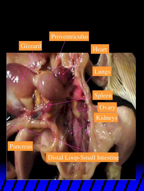 Proventriculus