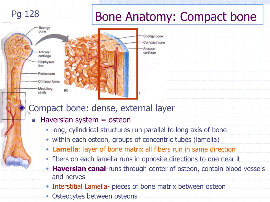 Compact bone anatomy 1126977 - follow4more.info