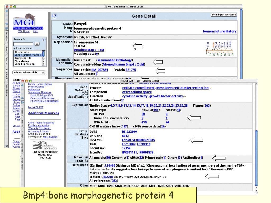 Bmp4:bone morphogenetic protein 4