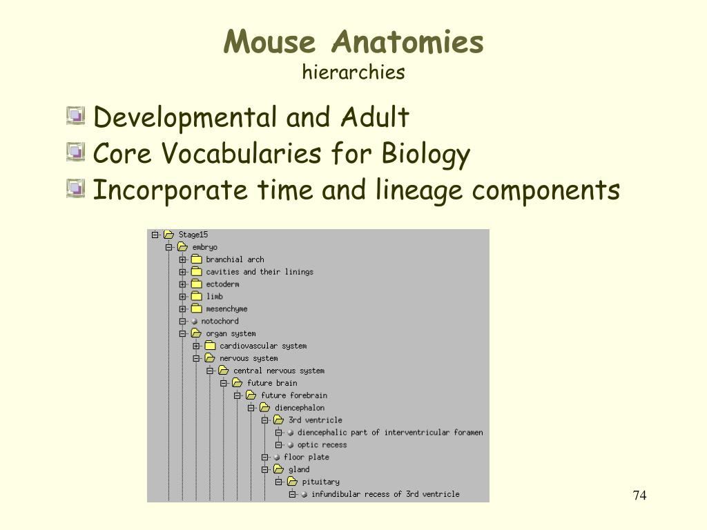 Mouse Anatomies