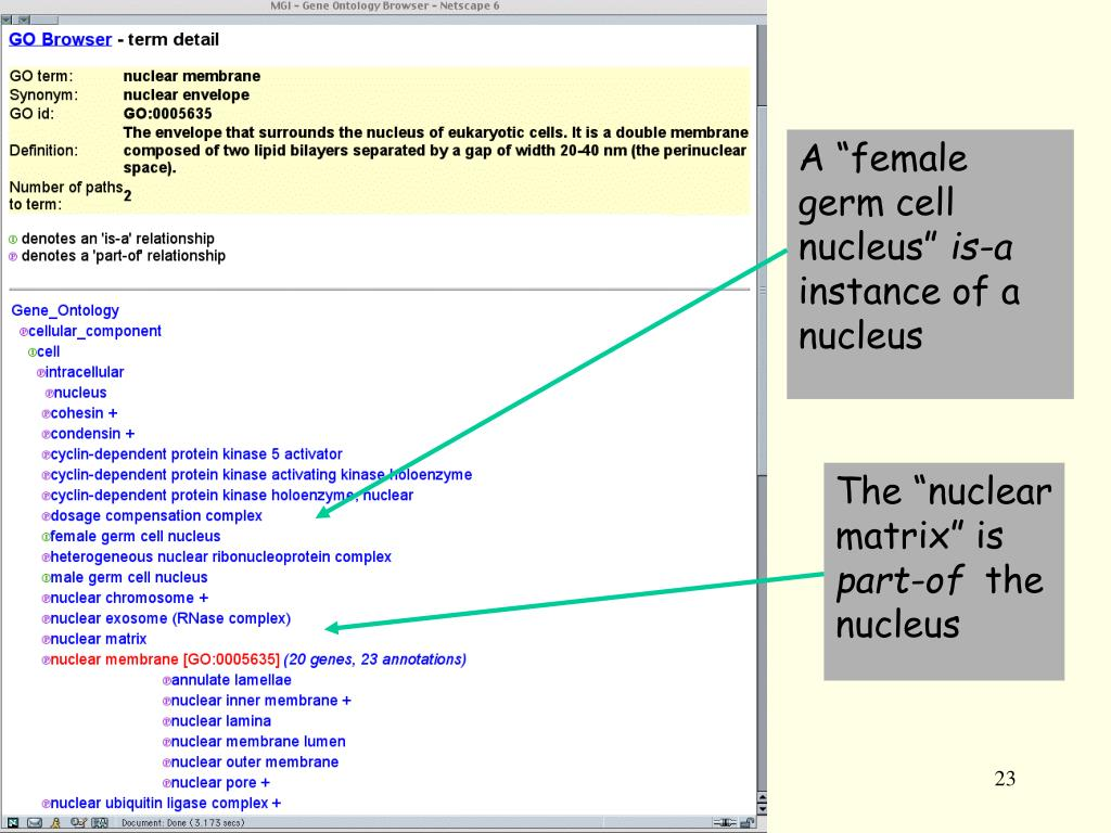 "A ""female germ cell nucleus"""