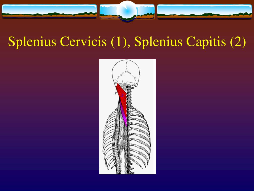 Splenius Cervicis (1), Splenius Capitis (2)