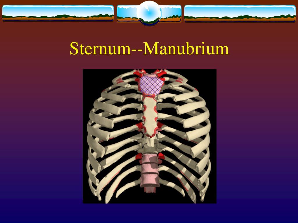 Sternum--Manubrium