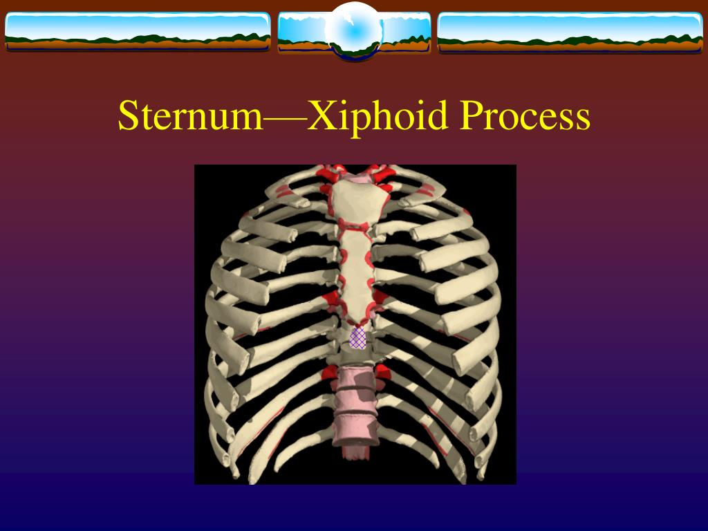 Sternum—Xiphoid Process