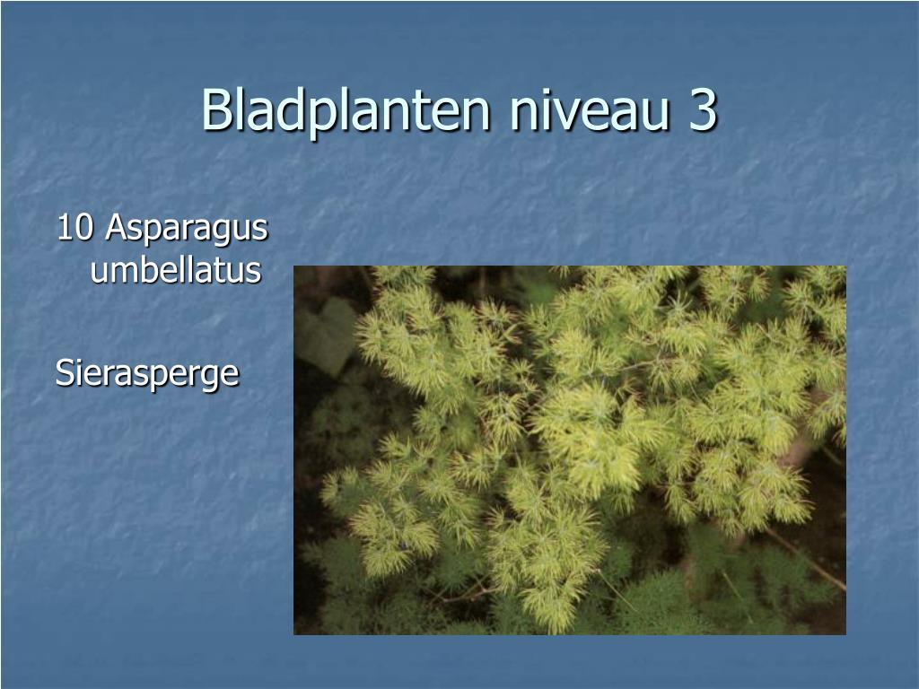 10 Asparagus umbellatus