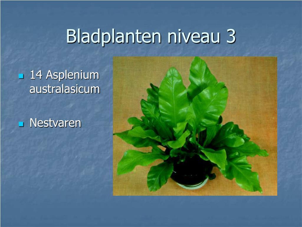 14 Asplenium australasicum