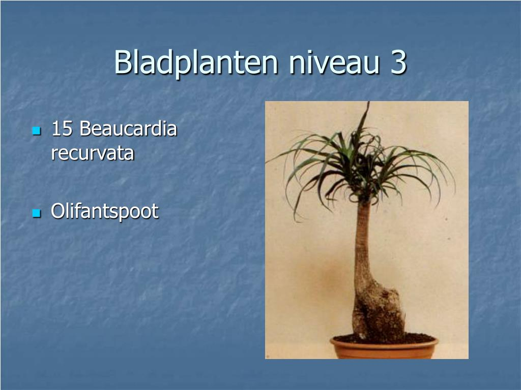 15 Beaucardia recurvata