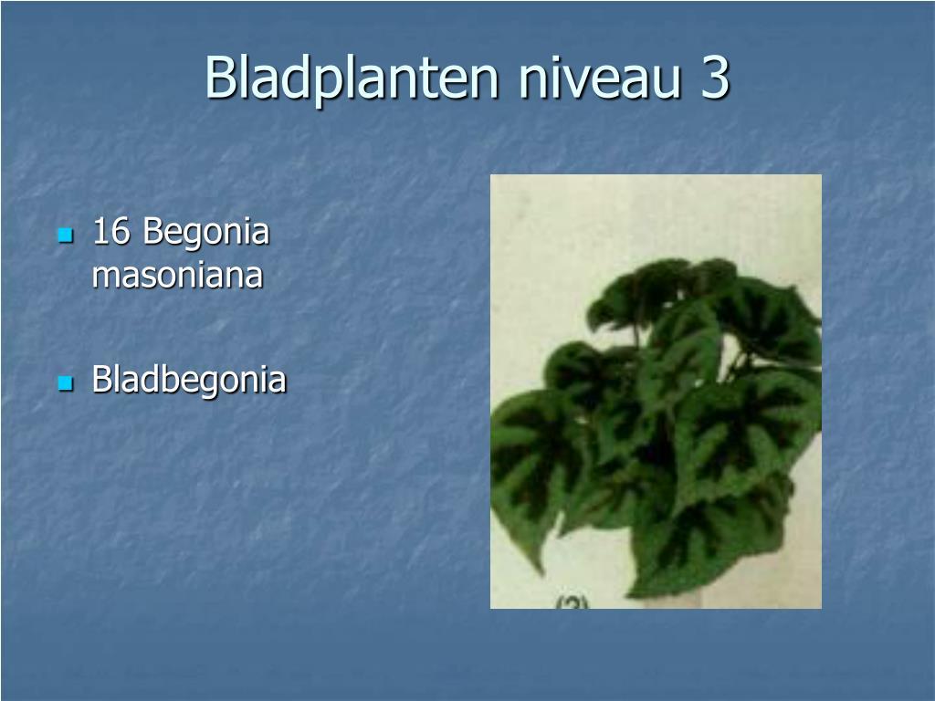 16 Begonia masoniana