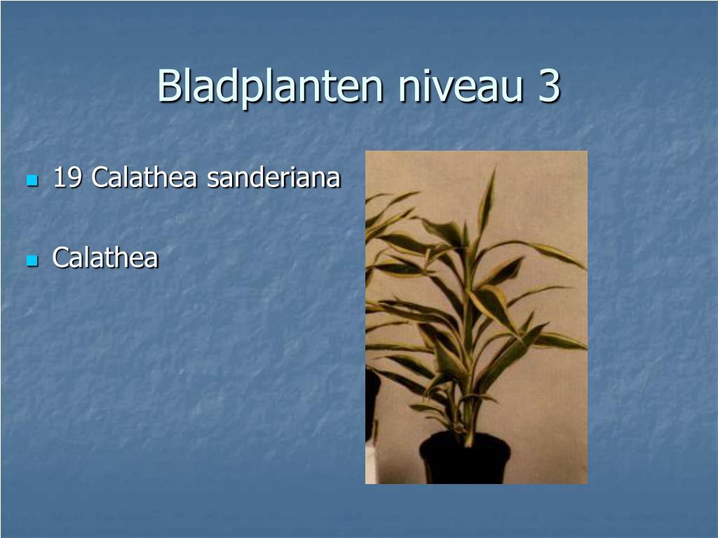 19 Calathea sanderiana