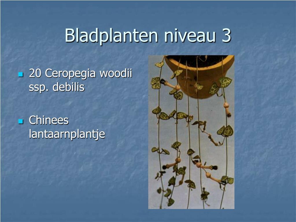 20 Ceropegia woodii ssp. debilis