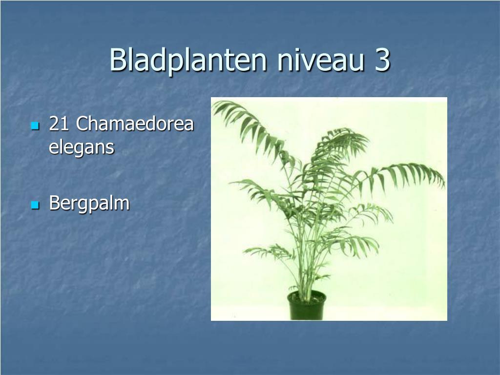 21 Chamaedorea elegans