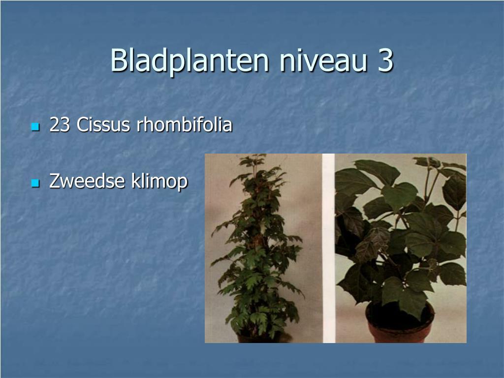 23 Cissus rhombifolia