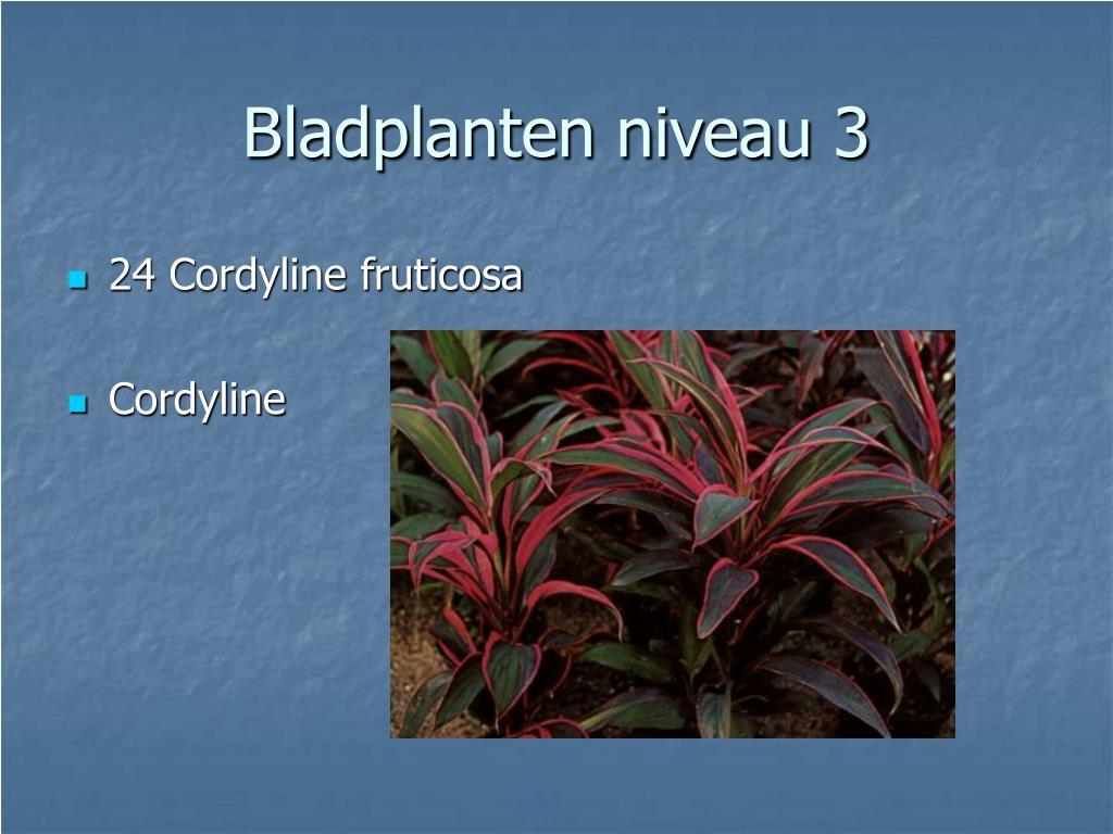 24 Cordyline fruticosa