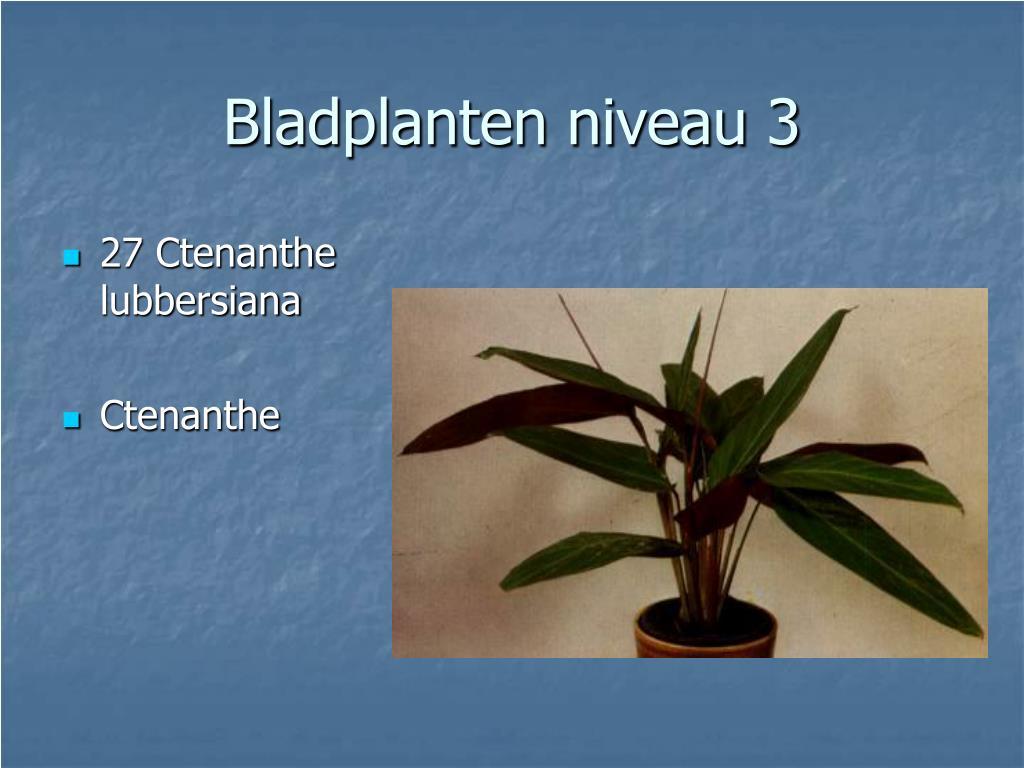 27 Ctenanthe lubbersiana