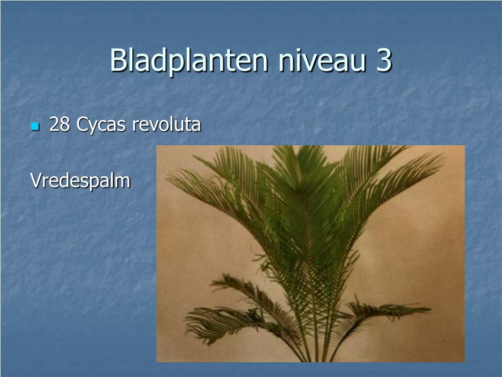 28 Cycas revoluta