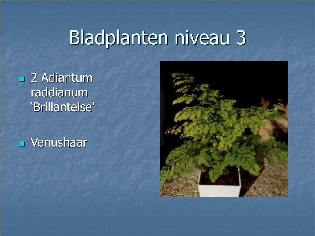 2 Adiantum raddianum 'Brillantelse'