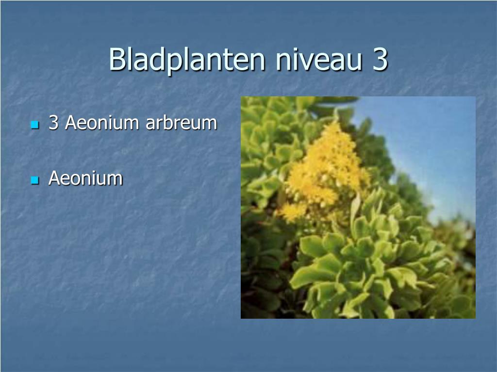3 Aeonium arbreum