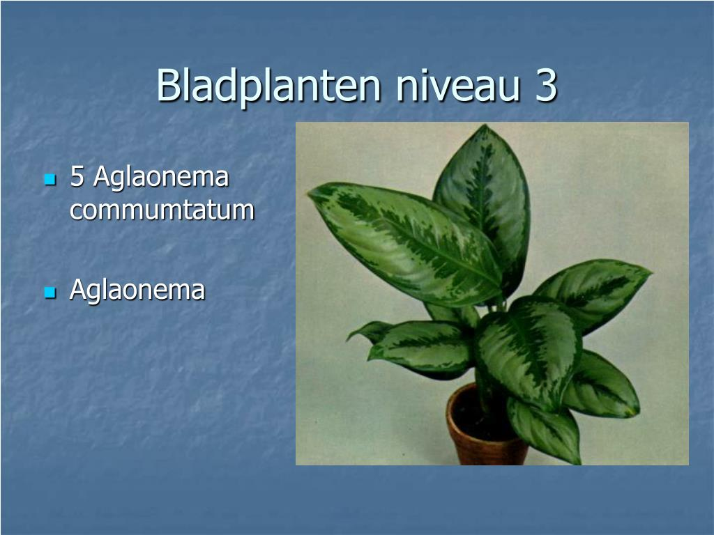 5 Aglaonema commumtatum
