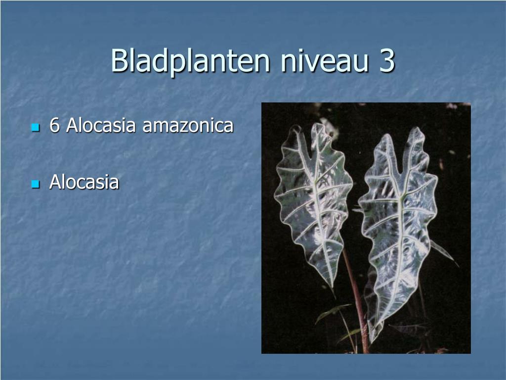 6 Alocasia amazonica