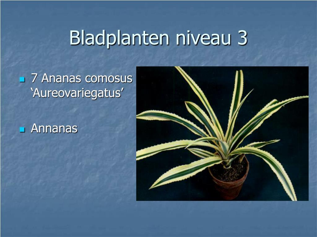 7 Ananas comosus 'Aureovariegatus'