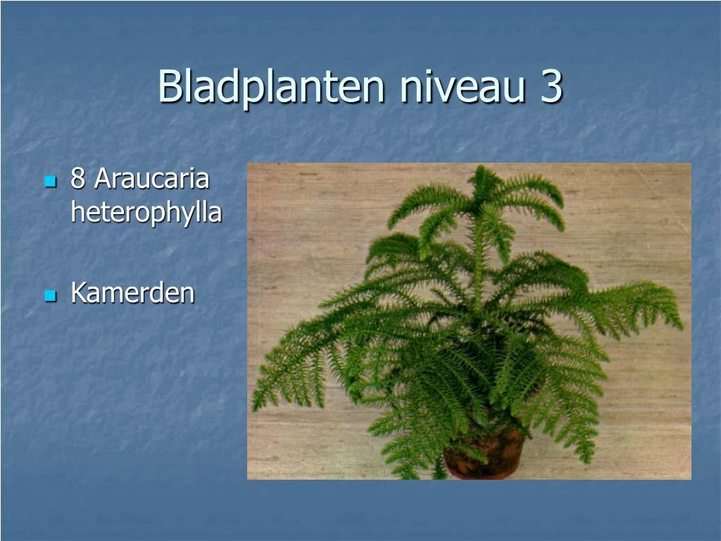 8 Araucaria heterophylla
