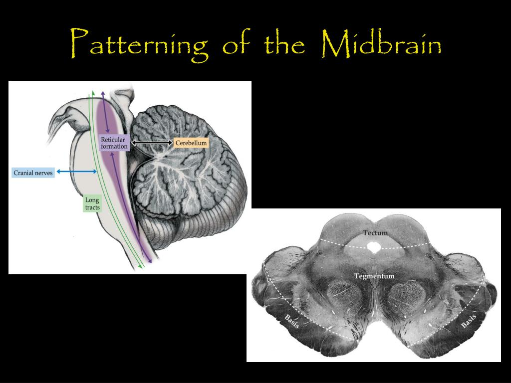 Patterning  of  the  Midbrain