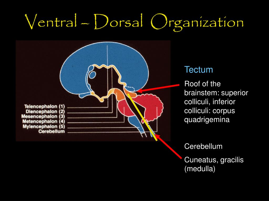 Ventral – Dorsal  Organization