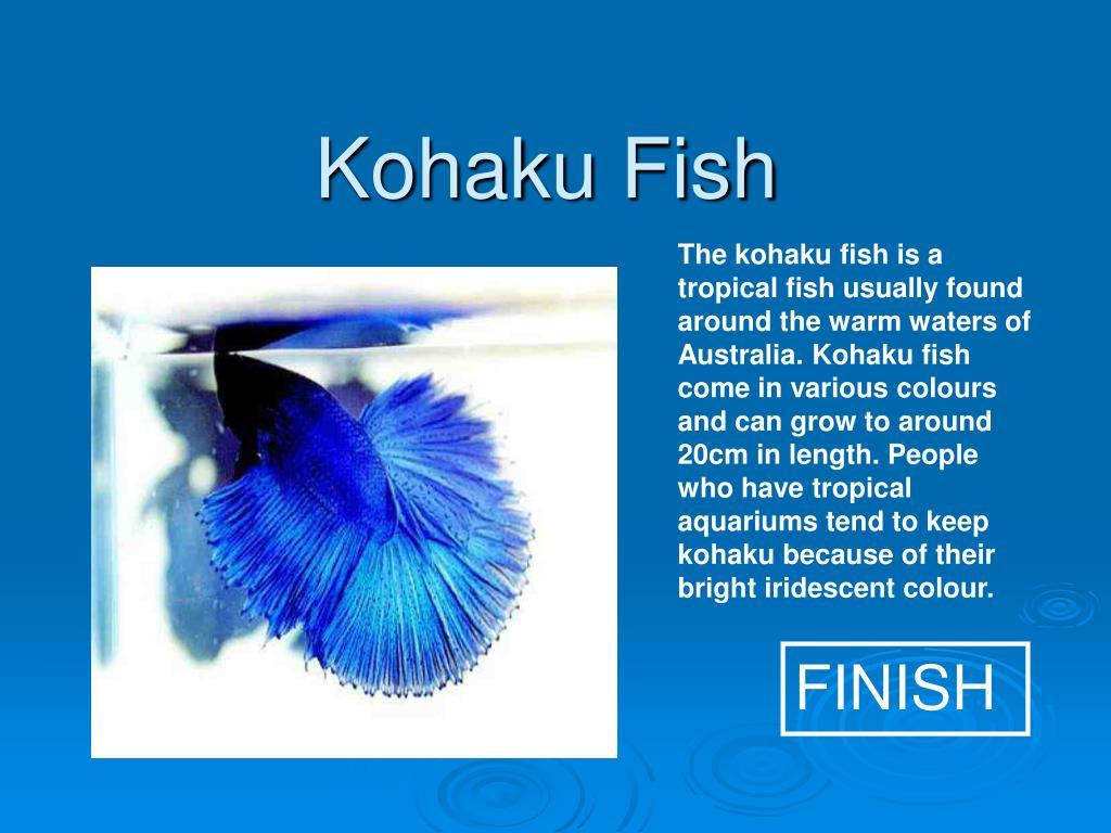 Kohaku Fish