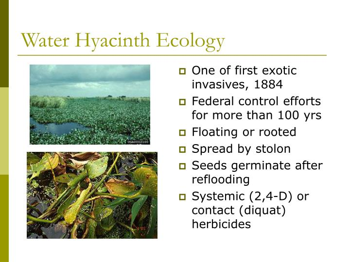 Water Hyacinth Ecology
