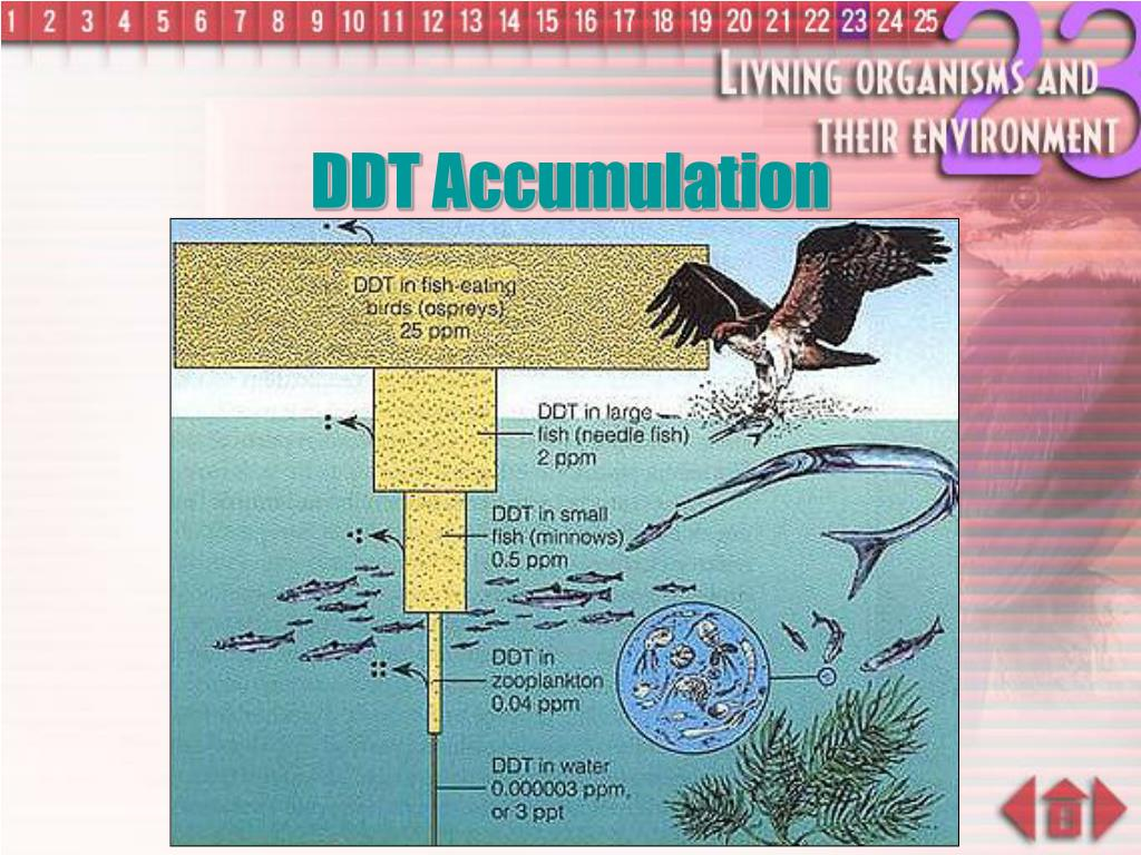 DDT Accumulation