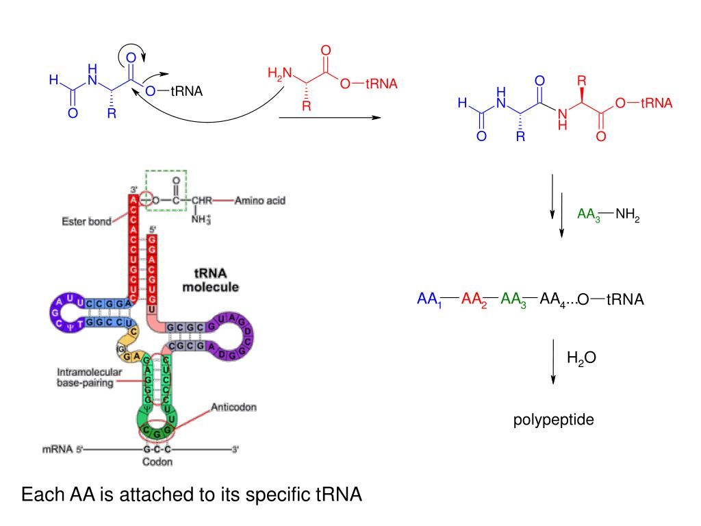 Each AA is attached to its specific tRNA