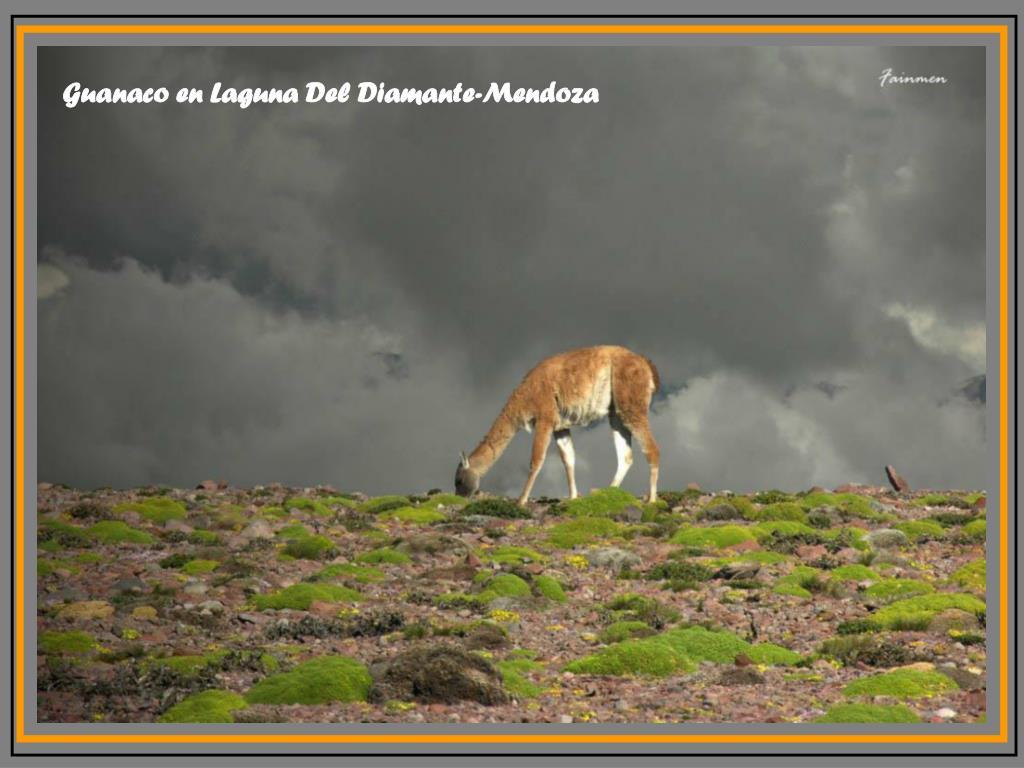 Guanaco en Laguna Del Diamante-Mendoza