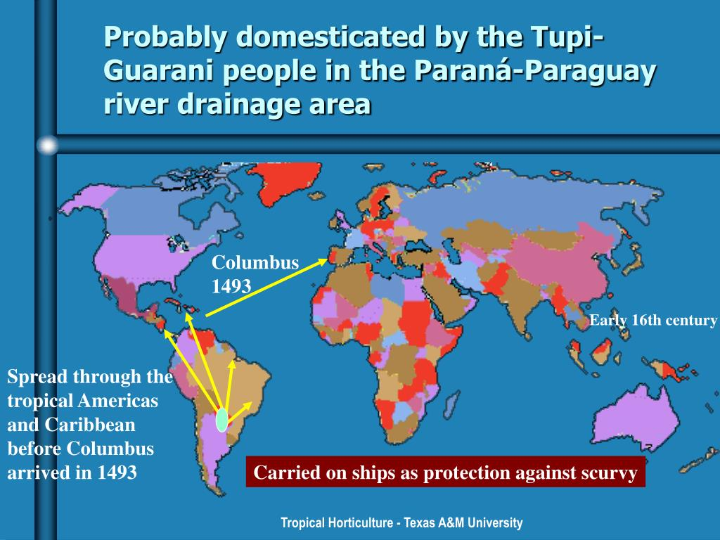 Probably domesticated by the Tupi-Guarani people in the Paraná-Paraguay river drainage area