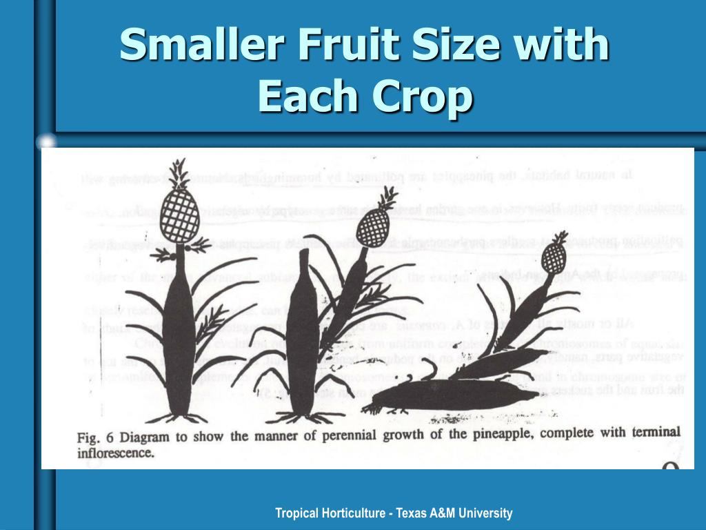 Smaller Fruit Size with Each Crop