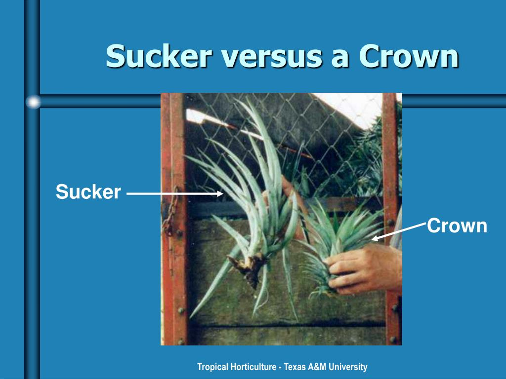 Sucker versus a Crown