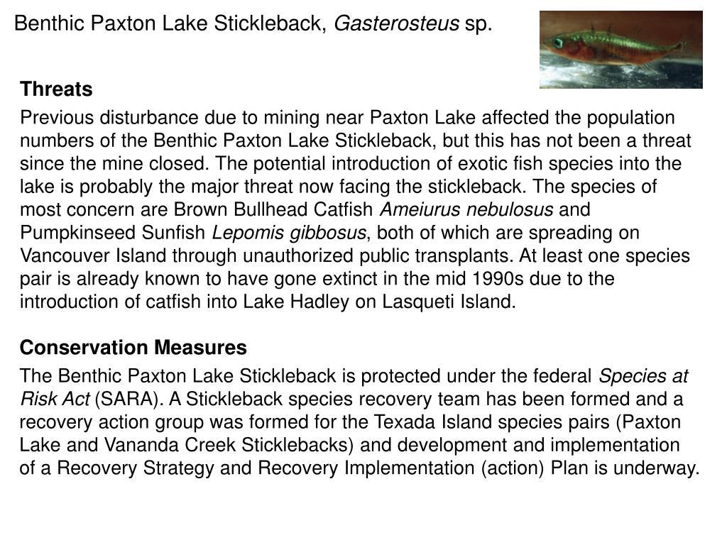 Benthic Paxton Lake Stickleback,