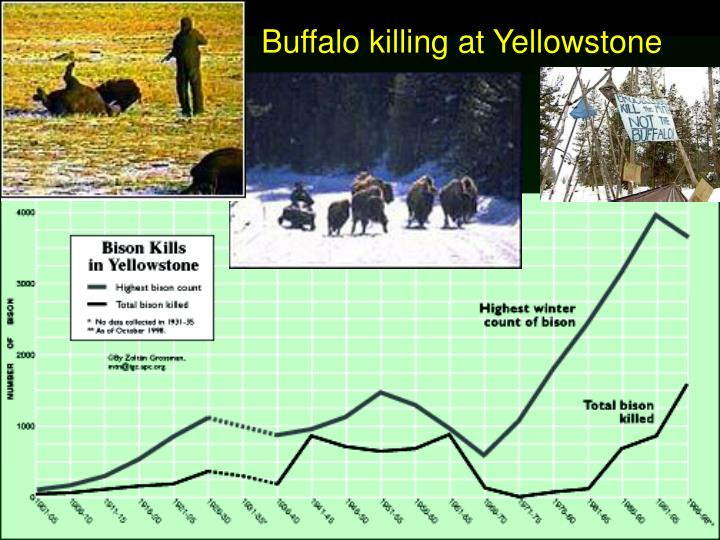 Buffalo killing at Yellowstone