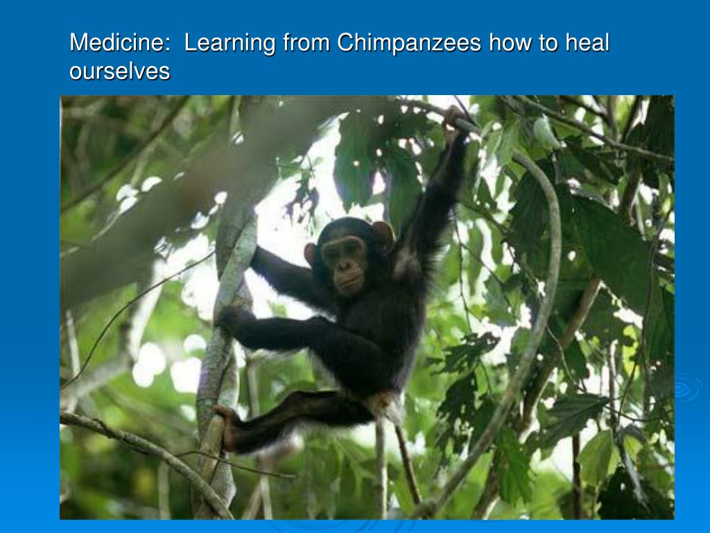 Medicine:  Learning from Chimpanzees how to heal ourselves